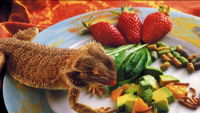 alimentation des lezards
